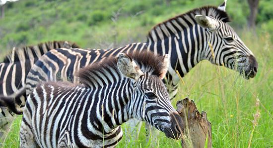 Zebra Hilltop Camp Hluhluwe iMfolozi Game Reserve uMfolozi South Africa KwaZulu-Natal