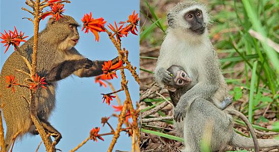 Samango Monkey Hilltop Camp Hluhluwe iMfolozi Game Reserve