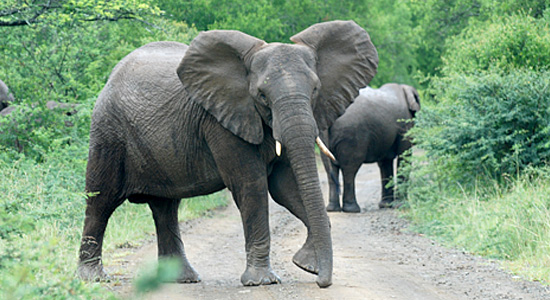 Elephant Hilltop Camp Hluhluwe iMfolozi Game Reserve uMfolozi South Africa KwaZulu-Natal